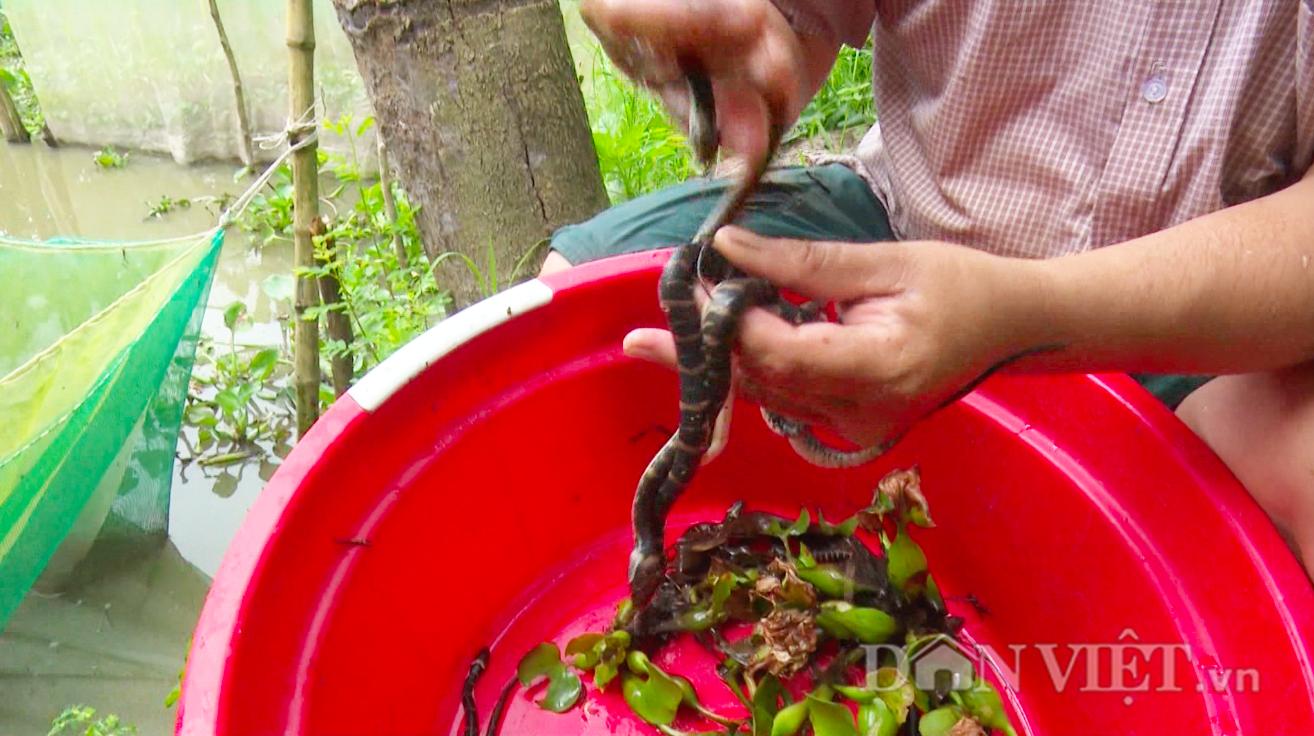 Dân miền Tây nuôi rắn trong vèo, ít chăm sóc nhưng lợi nhuận cao - Ảnh 7.