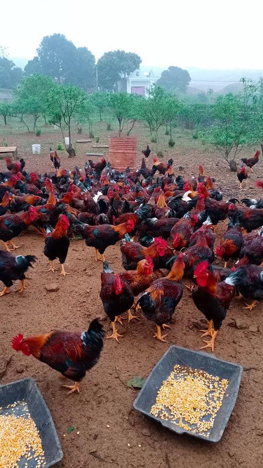 Giá gia cầm hôm nay 28/6: Vịt thịt bán giá cao, gà thả vườn dễ bán - Ảnh 2.