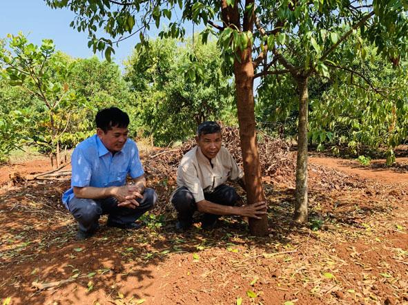 """Đắk Lắk: Cây đàn hương Ấn Độ quý hiếm như thế sao chuyên gia lại cảnh báo đừng để """"vỡ mộng""""? - Ảnh 3."""