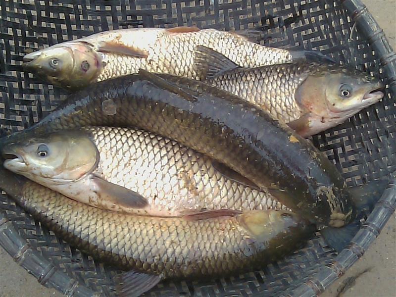 """8 loại cá """"đại bổ"""" giàu chất dinh dưỡng bậc nhất, vừa ngon vừa rẻ có rất nhiều ở Việt Nam - Ảnh 7."""
