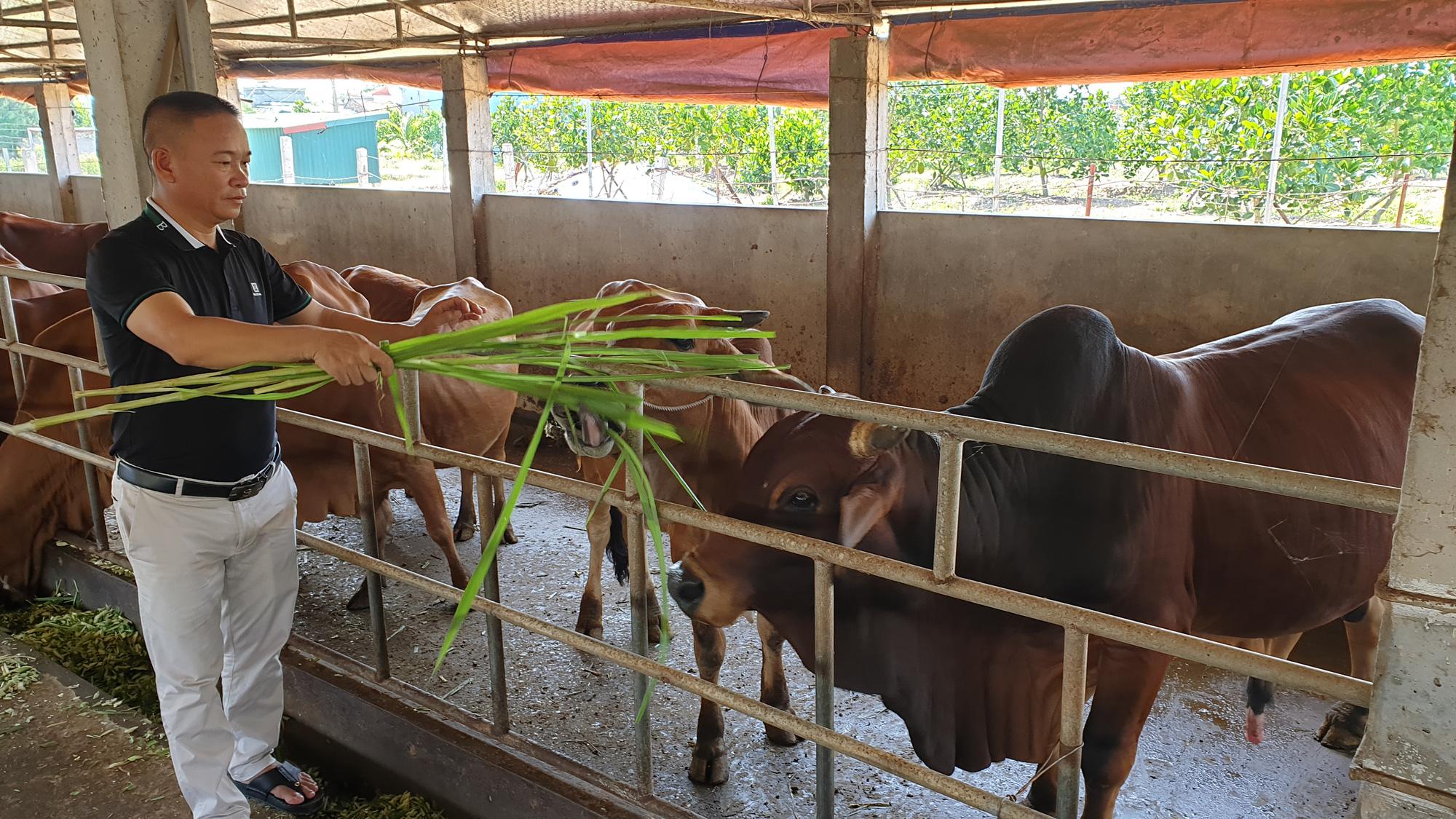 Thái Bình: Đại gia bất động sản bỏ phố về quê ....trồng cỏ, nuôi bò - Ảnh 3.