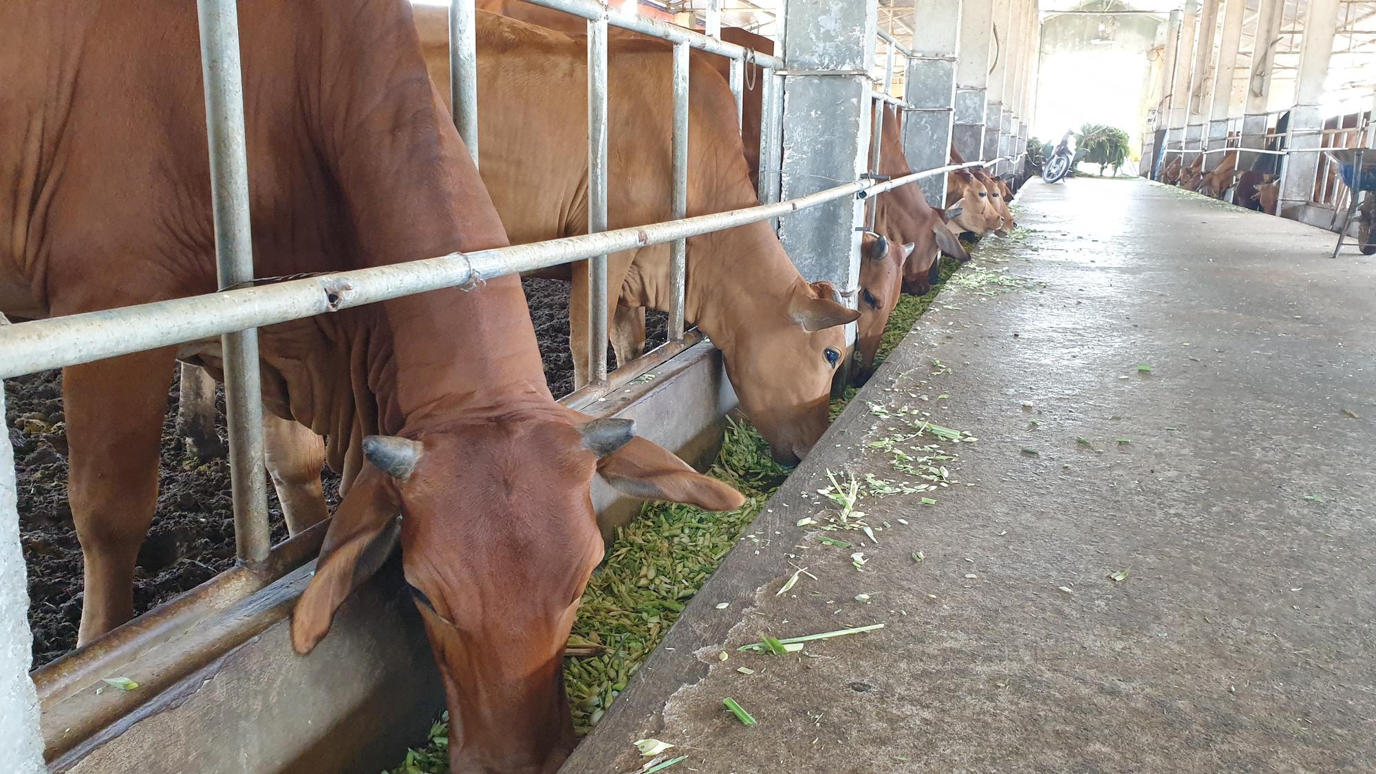 Thái Bình: Đại gia bất động sản bỏ phố về quê ....trồng cỏ, nuôi bò - Ảnh 4.