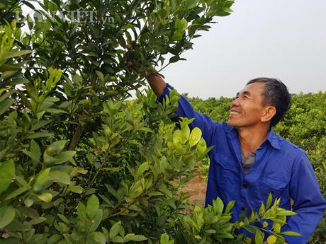 Nam Định: Trồng quất dược liệu, nông dân khỏe re tự tin thu tiền tỷ - Ảnh 1.