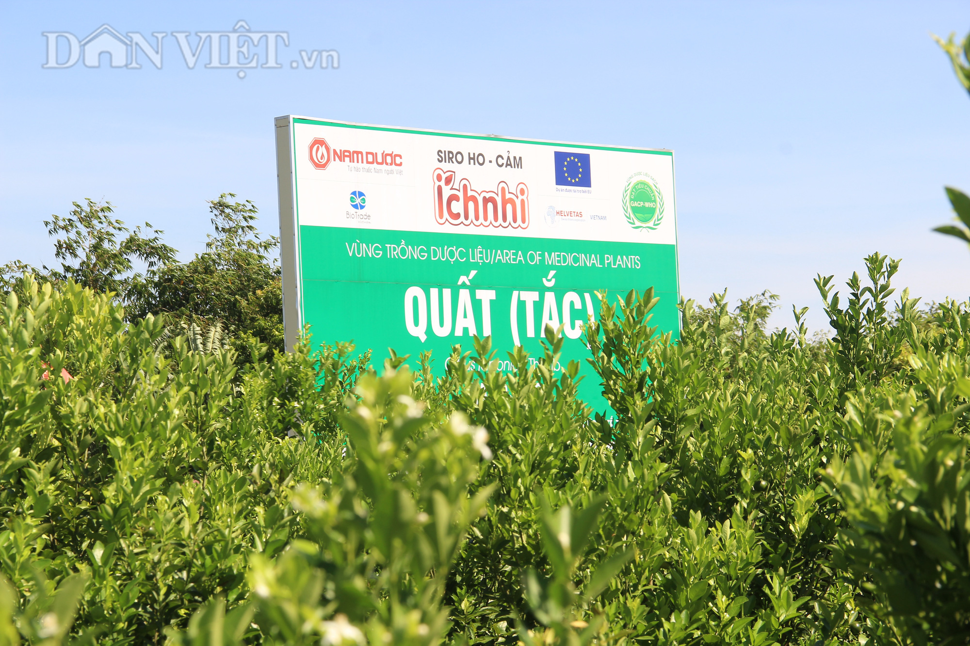 Nam Định: Trồng quất dược liệu, nông dân khỏe re tự tin thu tiền tỷ - Ảnh 2.
