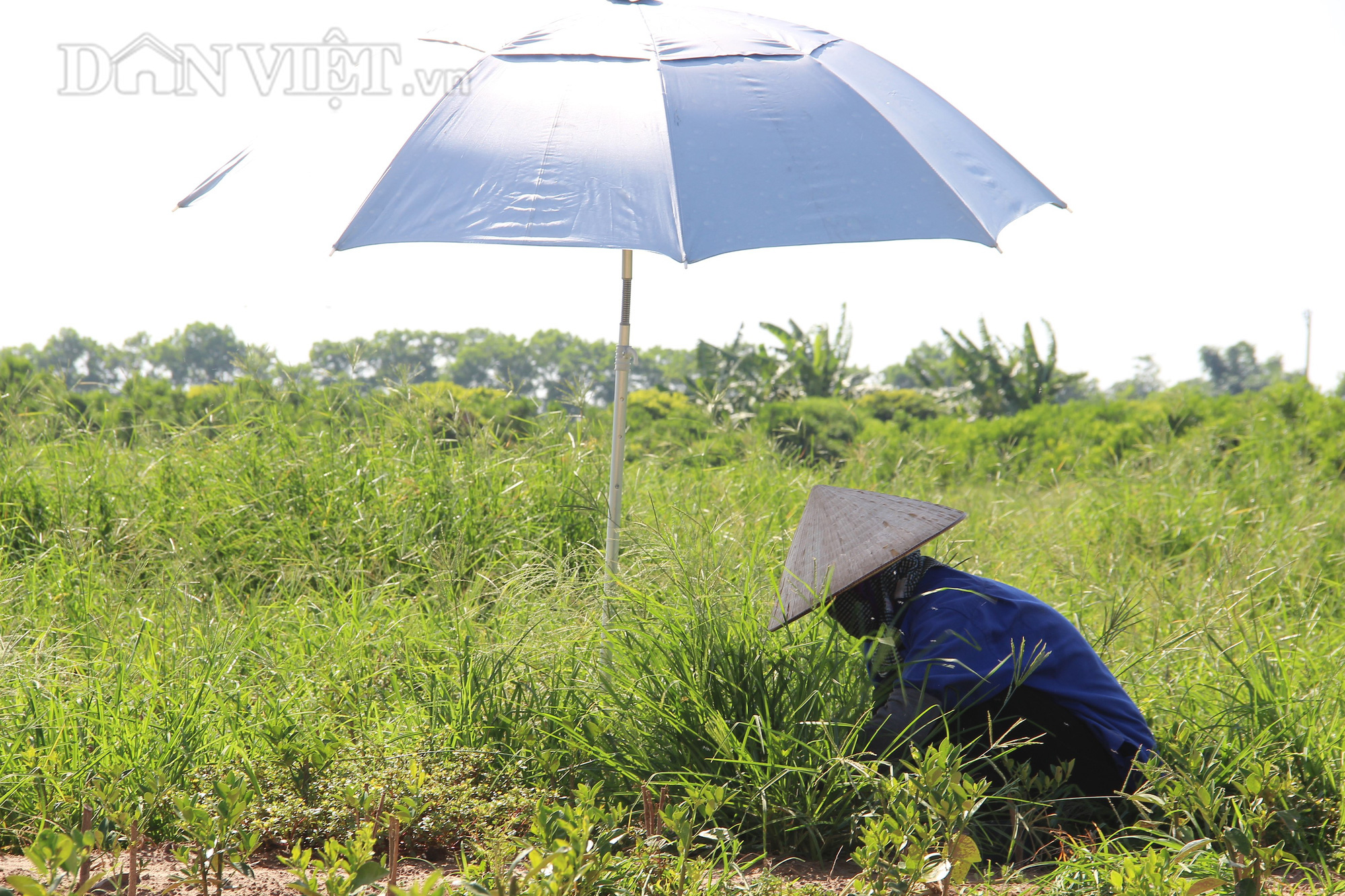 Nam Định: Trồng quất dược liệu, nông dân khỏe re tự tin thu tiền tỷ - Ảnh 6.