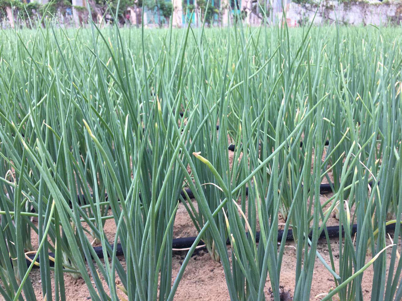 Ninh Thuận: Phó Chủ tịch Hội NDVN thăm mô hình trồng hành áp dụng công nghệ tưới nước nhỏ giọt - Ảnh 2.
