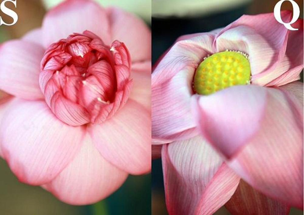 Cách phân biệt giống sen hồ Tây và hoa quỳ? - Ảnh 13.
