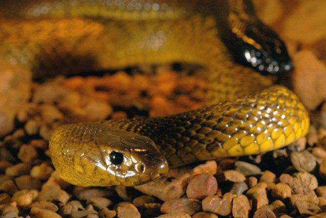 Bí ẩn loài rắn độc nhất thế giới: 1 lần cắn có thể giết chết 100 người - Ảnh 3.