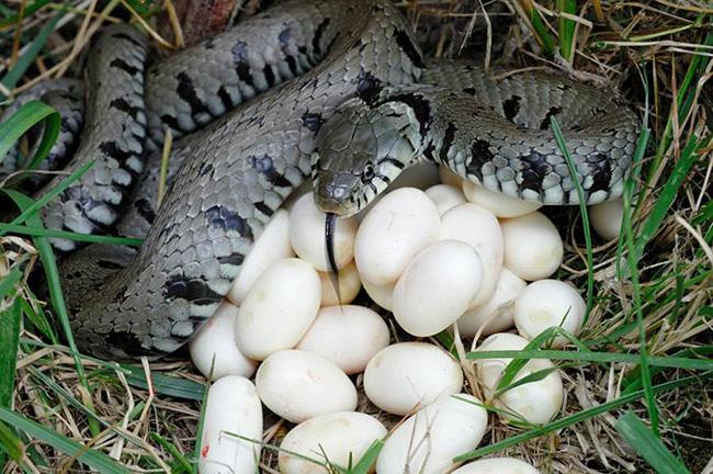 """Phát hoảng với trứng rắn luộc: Thứ đặc sản nghe """"kinh dị"""" lại ngon đến ngỡ ngàng - Ảnh 1."""