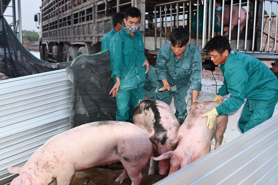 """Vì sao doanh nghiệp tái đàn lợn """"thần tốc"""", nông hộ lại dè dặt? - Ảnh 3."""