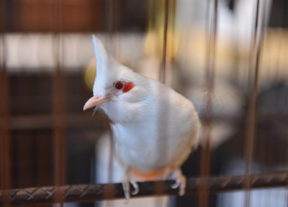 Bộ sưu tập chim giá tiền tỷ của vua chim màu Việt: Đắt đỏ, quý hiếm, đẳng cấp nhất Việt Nam - Ảnh 2.