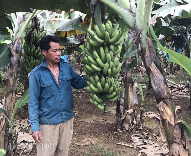 Lão nông thoát nghèo nhờ trồng chuối tiêu hồng - Ảnh 1.