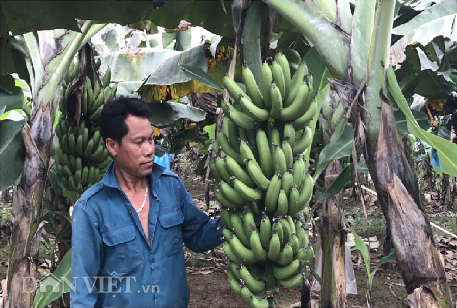 Lão nông thoát nghèo nhờ trồng chuối tiêu hồng - Ảnh 3.