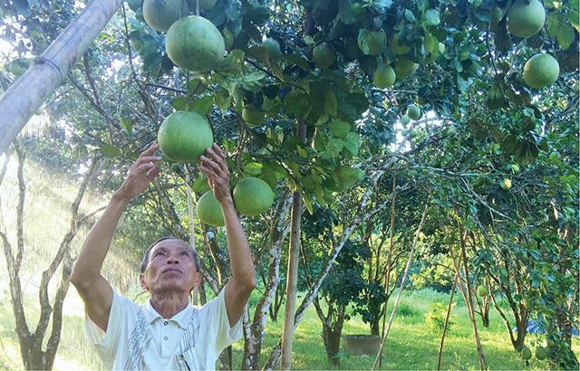 Thừa Thiên Huế: Vì sao thanh trà rớt giá mà nông dân vẫn vui? - Ảnh 1.
