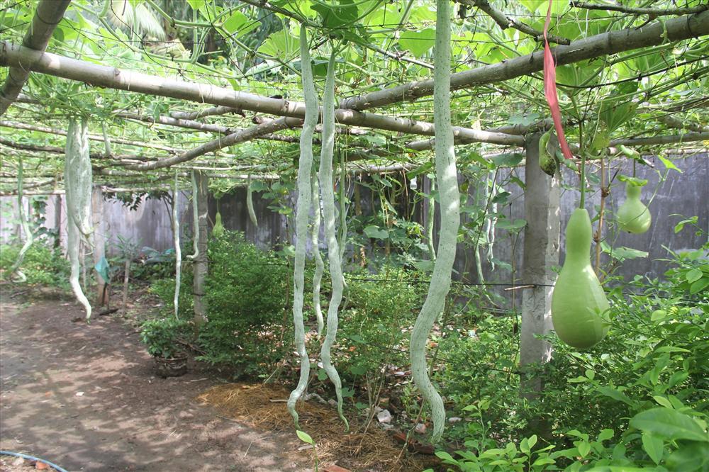 Vườn toàn quả siêu to, khủng, dài của ông nông dân phố ở Cần Thơ: Bầu to như em bé, mướp đắng dài 2m  - Ảnh 5.