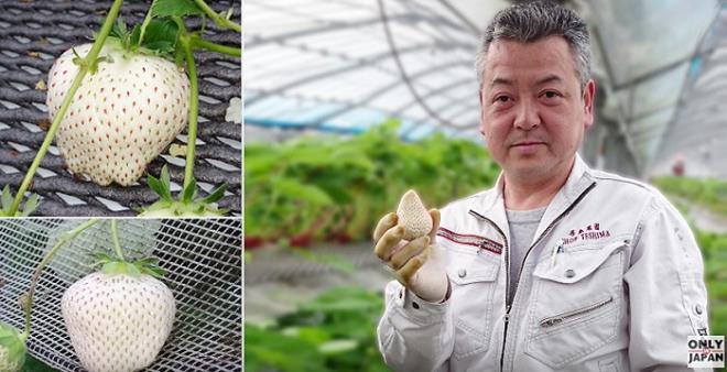 Sức hút kỳ lạ của dâu tây Bạch Tuyết giá gần 2 triệu đồng/kg - Ảnh 7.