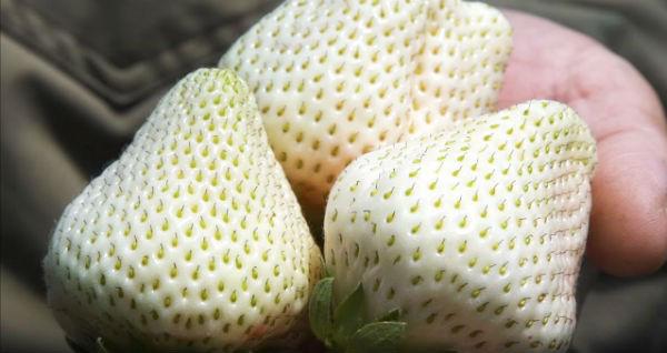 Sức hút kỳ lạ của dâu tây Bạch Tuyết giá gần 2 triệu đồng/kg - Ảnh 12.