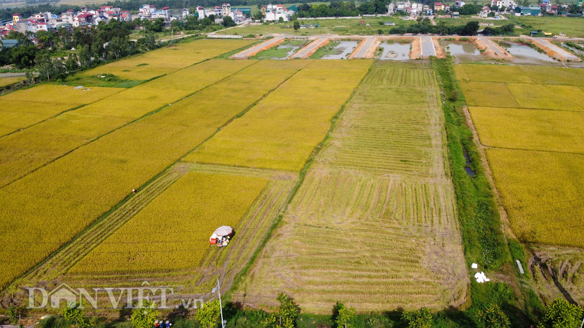 Nông dân Hà Nội đội nắng đón vụ mùa bội thu - Ảnh 2.