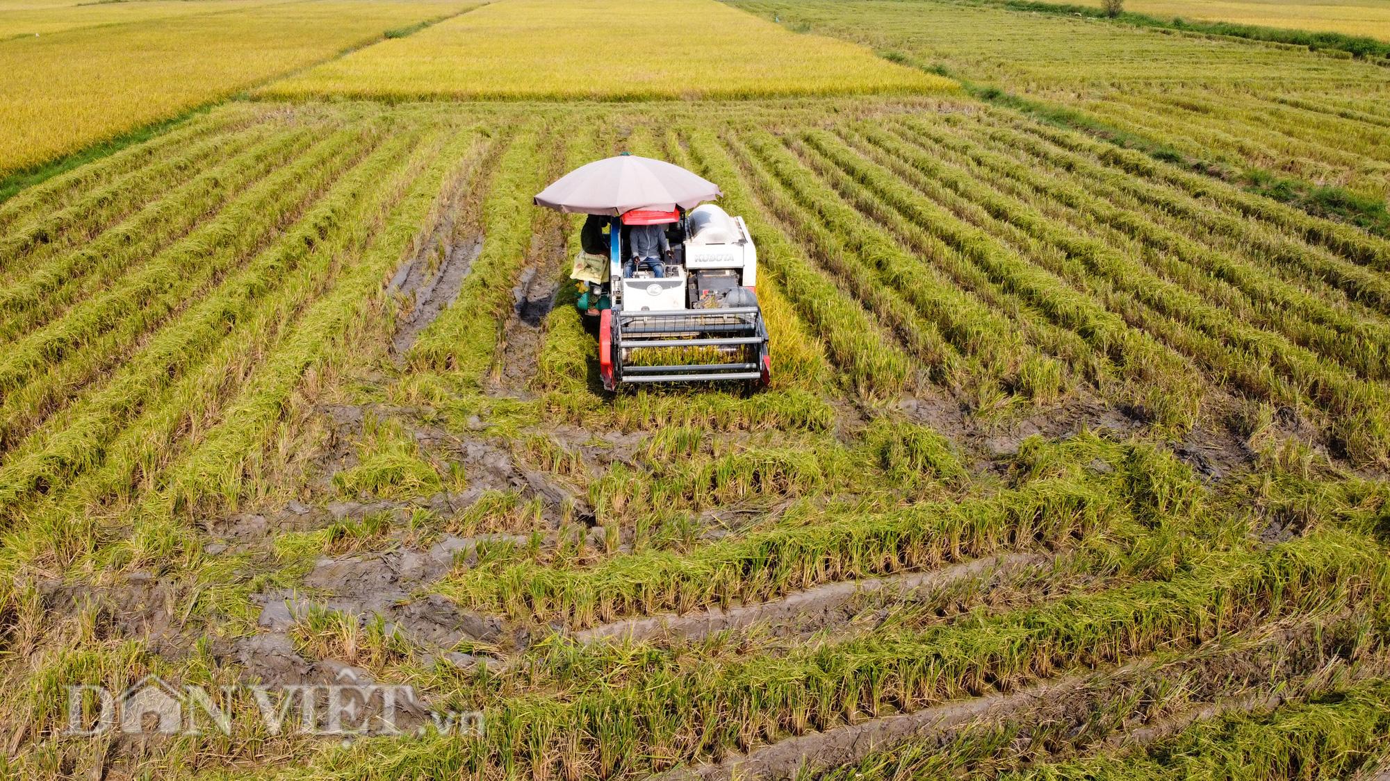 Nông dân Hà Nội đội nắng đón vụ mùa bội thu - Ảnh 3.