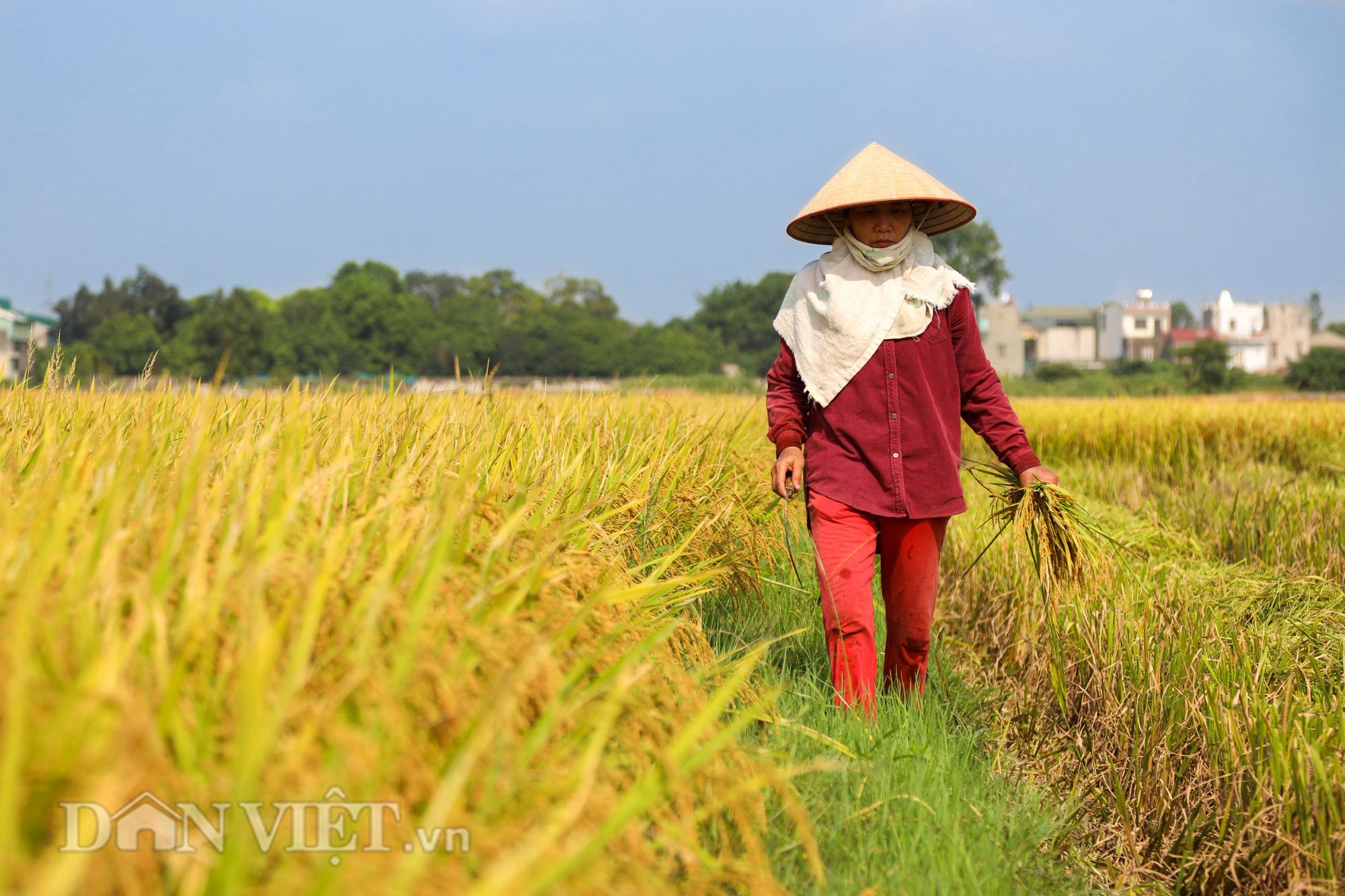 Nông dân Hà Nội đội nắng đón vụ mùa bội thu - Ảnh 4.