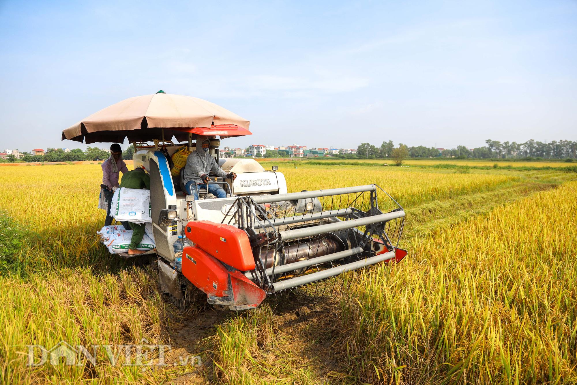 Nông dân Hà Nội đội nắng đón vụ mùa bội thu - Ảnh 6.