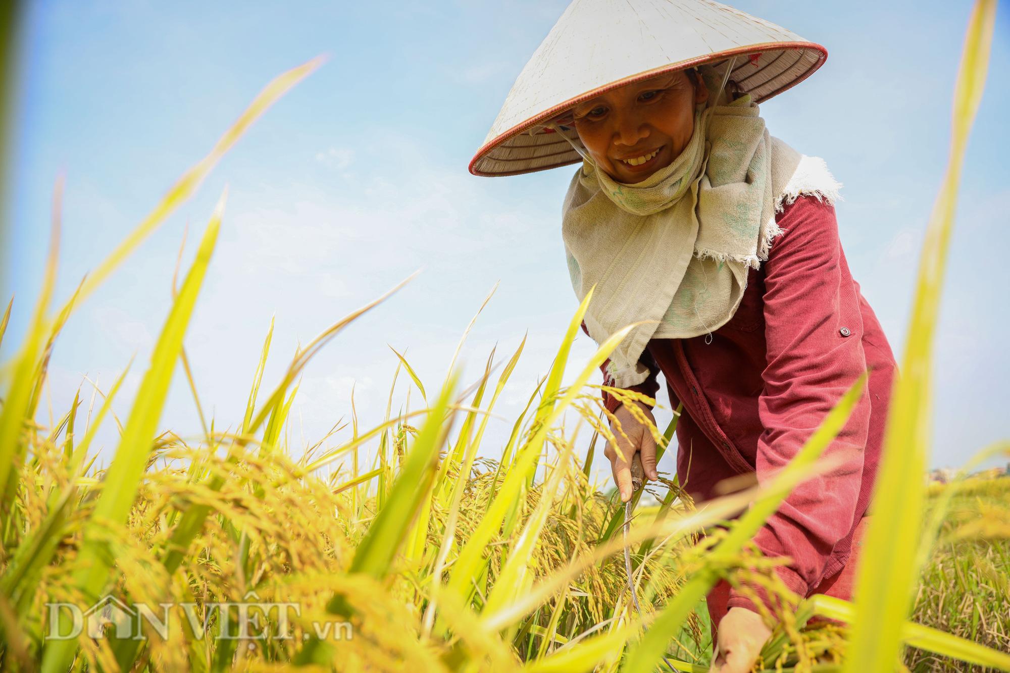 Nông dân Hà Nội đội nắng đón vụ mùa bội thu - Ảnh 7.
