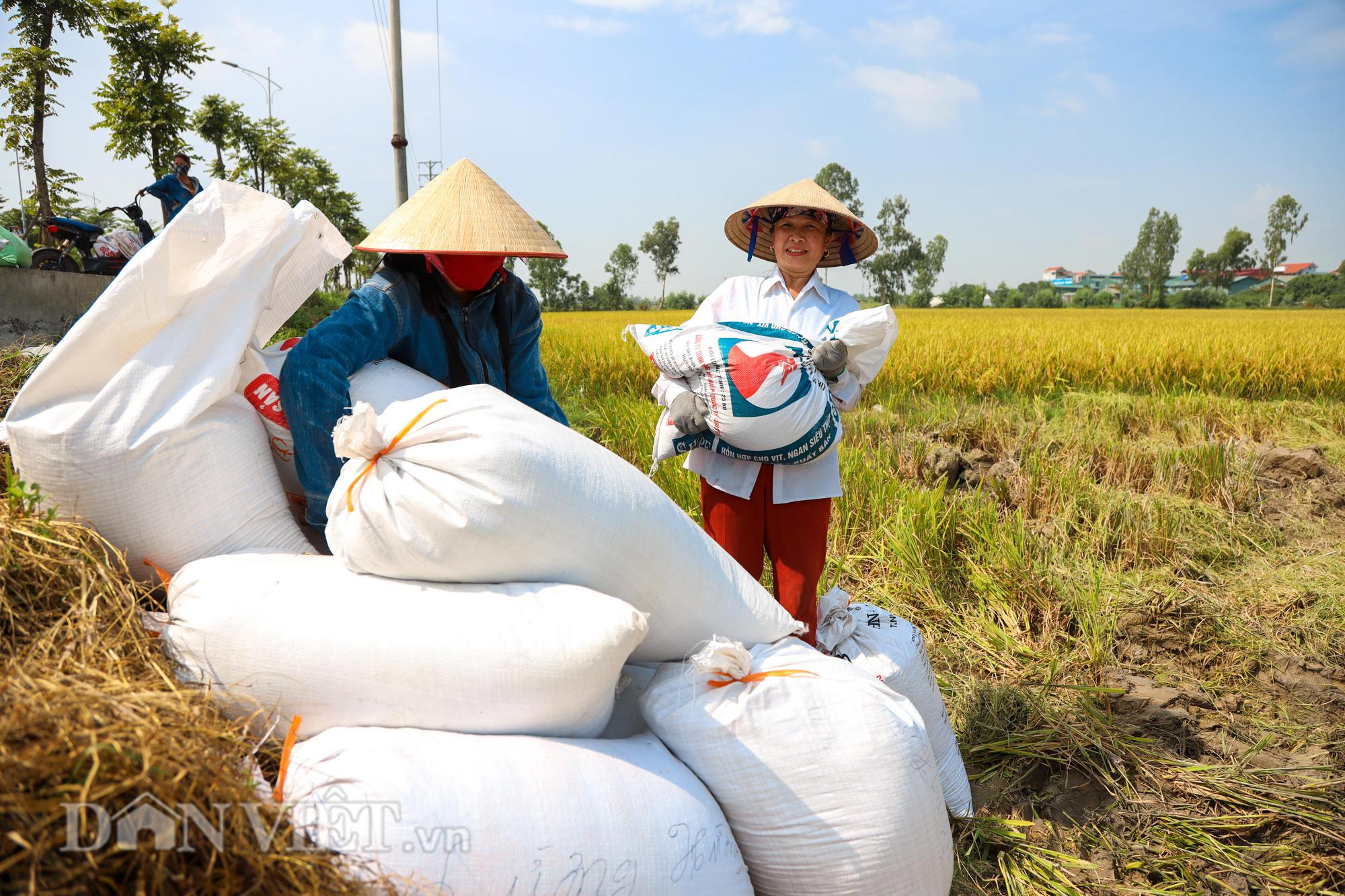 Nông dân Hà Nội đội nắng đón vụ mùa bội thu - Ảnh 8.