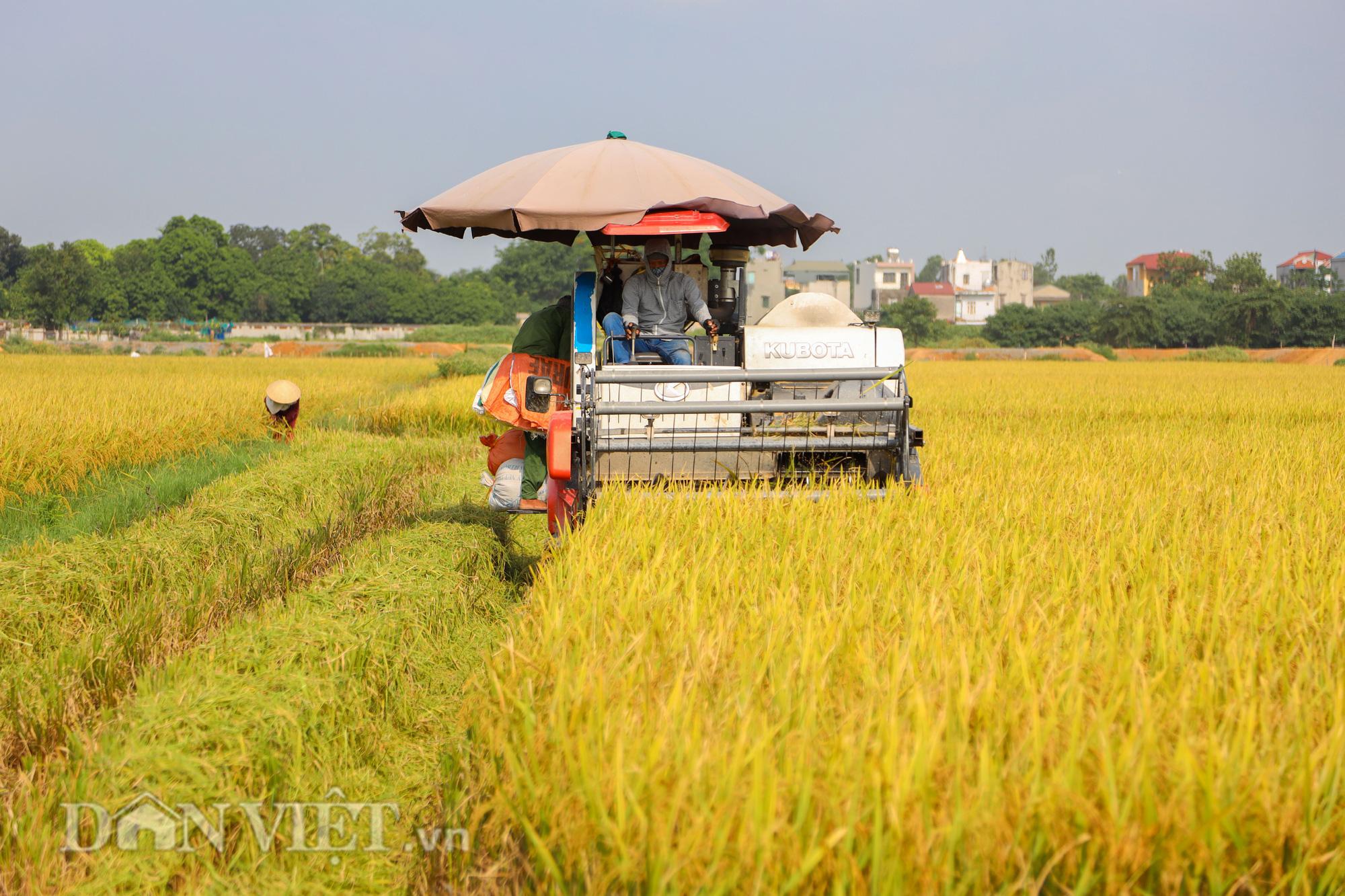 Nông dân Hà Nội đội nắng đón vụ mùa bội thu - Ảnh 10.