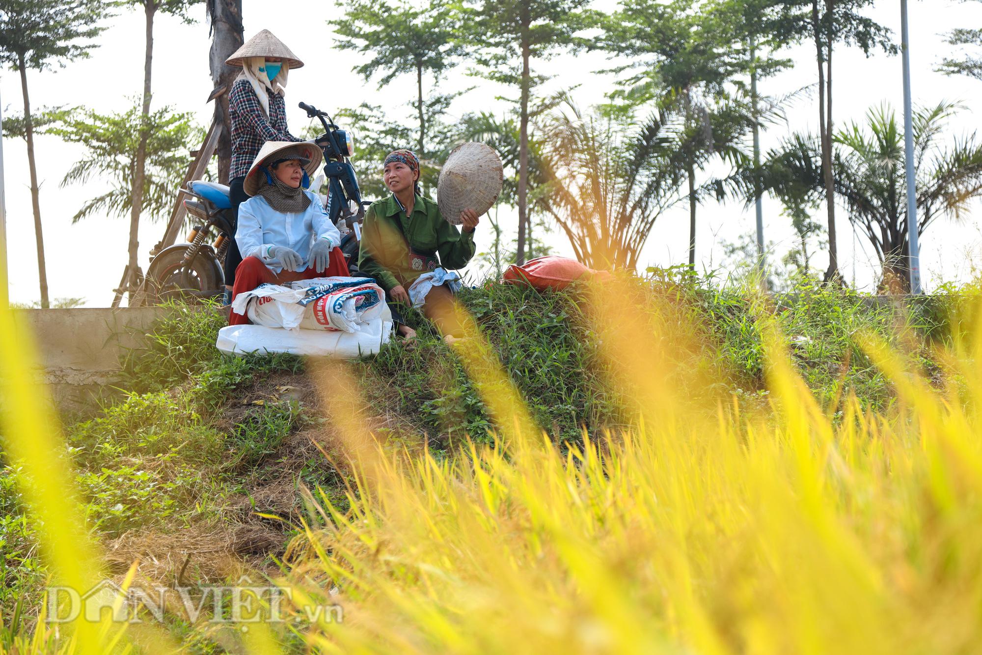Nông dân Hà Nội đội nắng đón vụ mùa bội thu - Ảnh 11.
