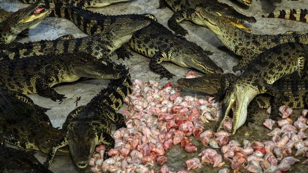 """Bí ẩn bên trong trang trại cá sấu siêu """"khủng"""" nhất Thái Lan - Ảnh 1."""