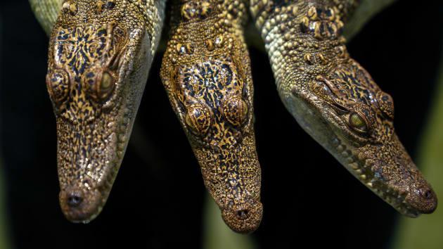"""Bí ẩn bên trong trang trại cá sấu siêu """"khủng"""" nhất Thái Lan - Ảnh 2."""