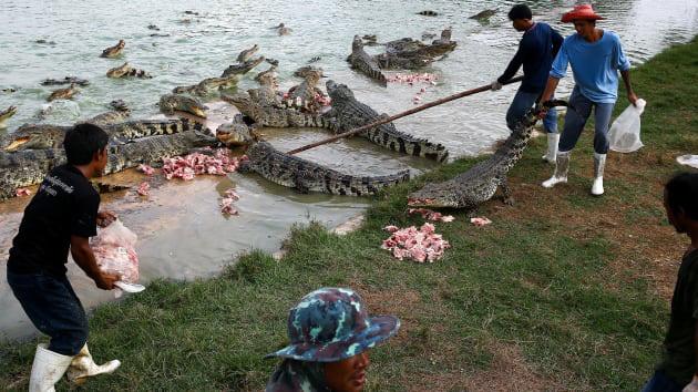 """Bí ẩn bên trong trang trại cá sấu siêu """"khủng"""" nhất Thái Lan - Ảnh 5."""