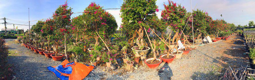 Vườn hoa giấy đa sắc dáng độc, giá trị như kho báu của anh nông dân miền Tây - Ảnh 1.