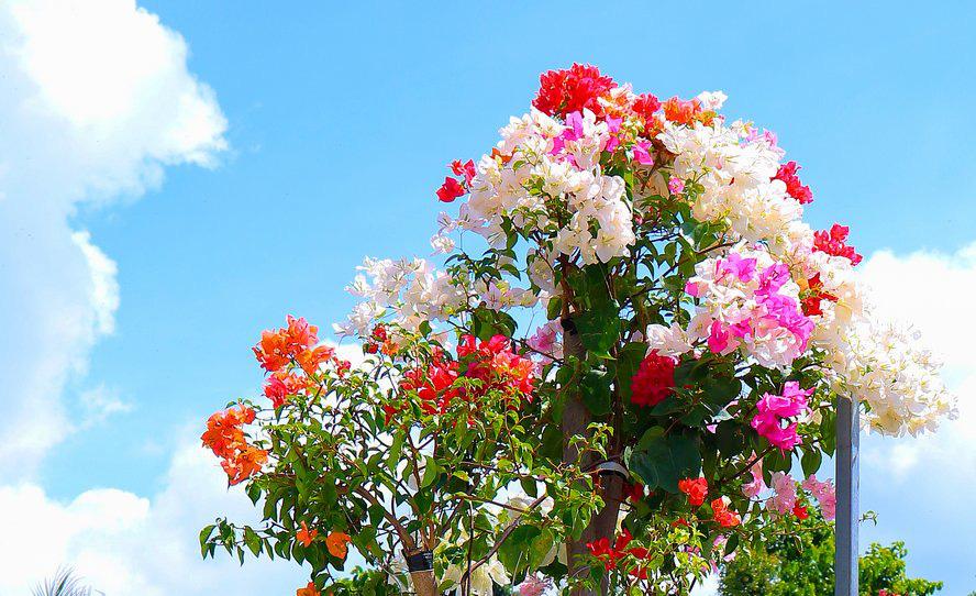 Vườn hoa giấy đa sắc dáng độc, giá trị như kho báu của anh nông dân miền Tây - Ảnh 9.