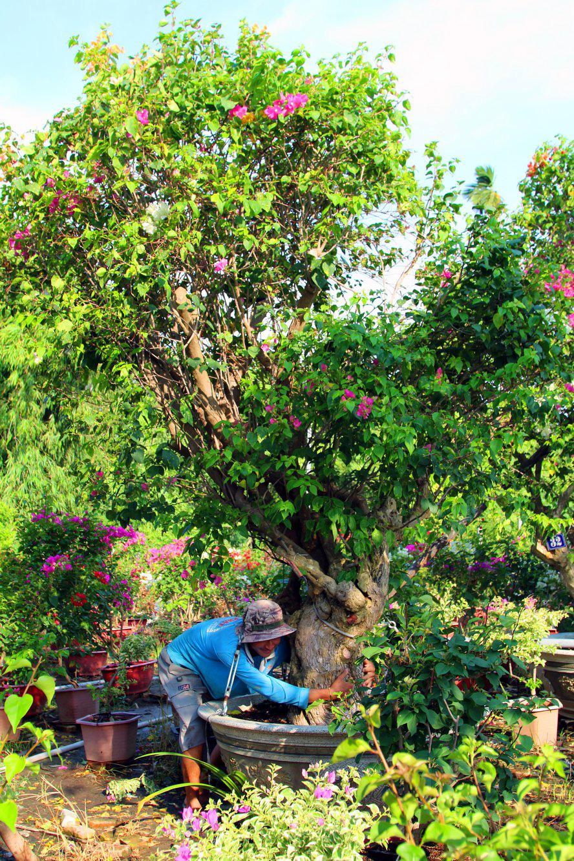 Vườn hoa giấy đa sắc dáng độc, giá trị như kho báu của anh nông dân miền Tây - Ảnh 8.