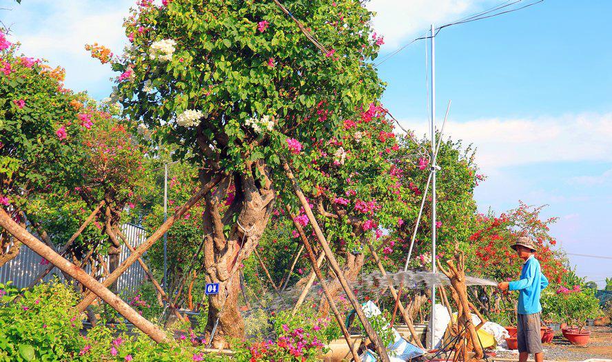 Vườn hoa giấy đa sắc dáng độc, giá trị như kho báu của anh nông dân miền Tây - Ảnh 2.