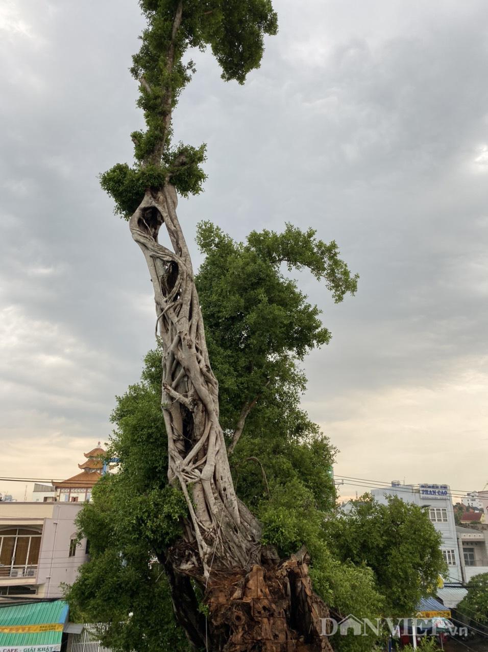 Đồng Tháp: Dời nhà dân để nhường sự sống cho cây da hơn 100 tuổi  - Ảnh 1.