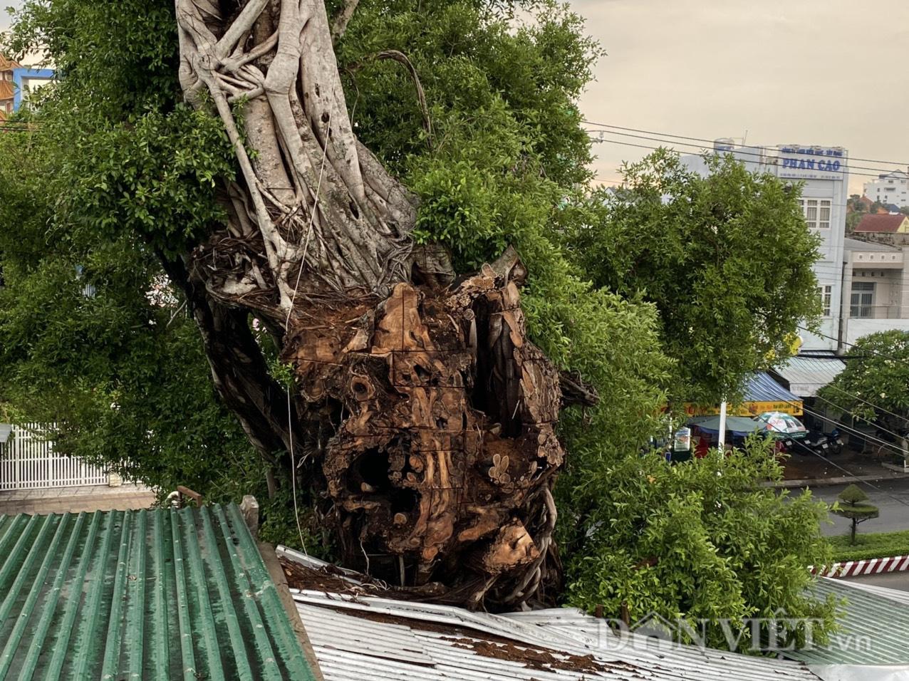 Đồng Tháp: Dời nhà dân để nhường sự sống cho cây da hơn 100 tuổi  - Ảnh 3.