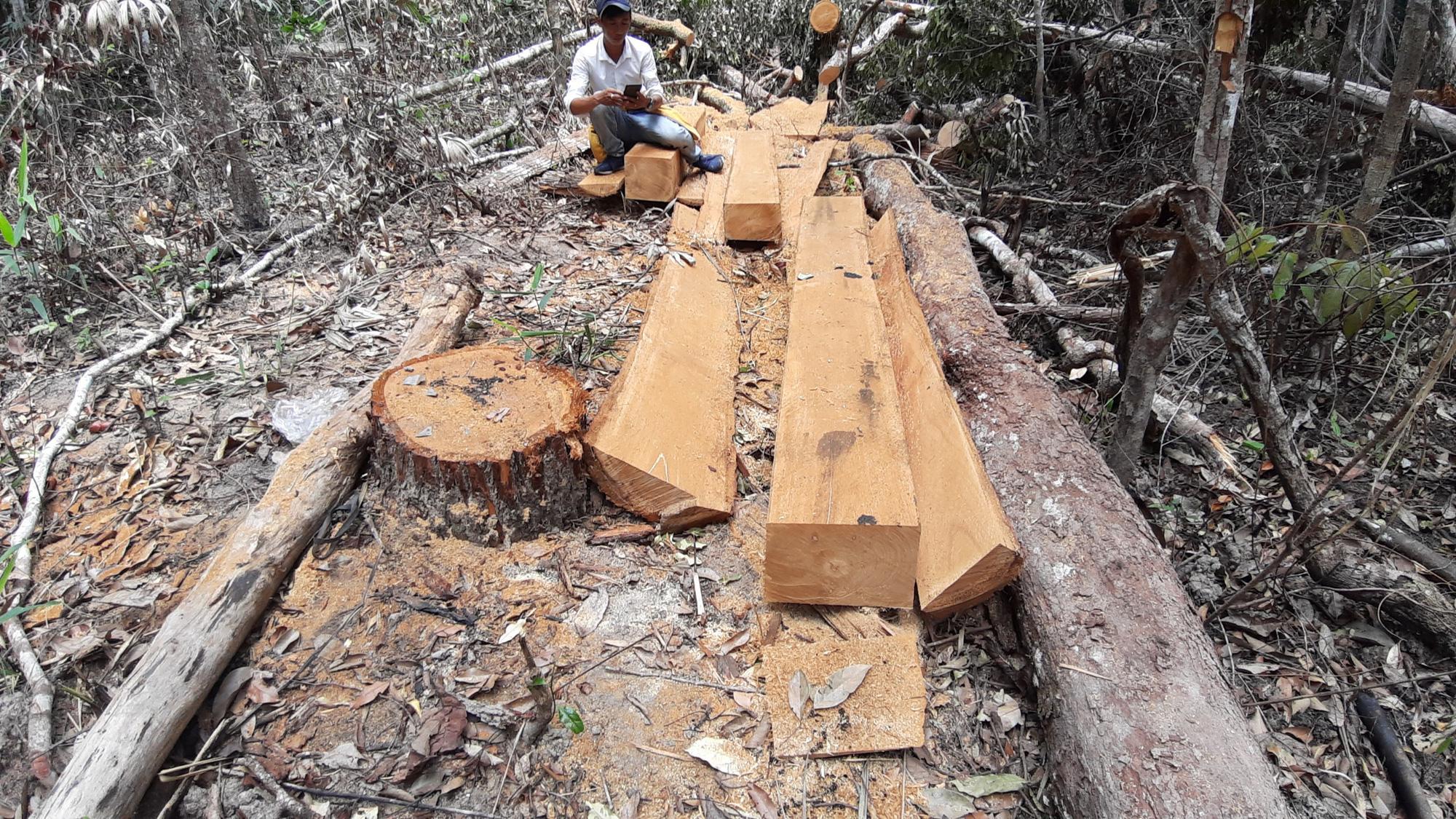 """Gia Lai: Nhiều cây gỗ lớn bị đốn hạ, gỗ nhỏ bị """"cạo trọc, đốt sạch"""" - Ảnh 1."""