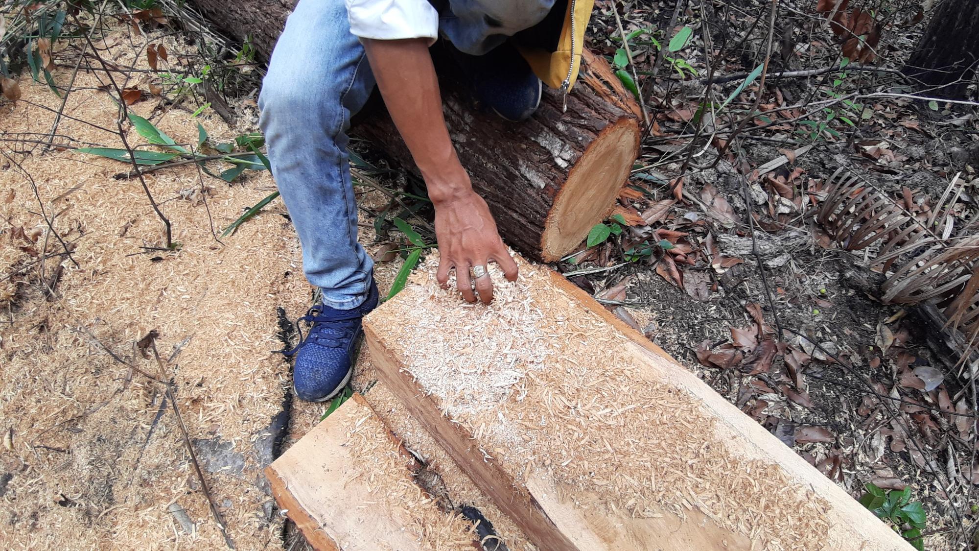 """Gia Lai: Nhiều cây gỗ lớn bị đốn hạ, gỗ nhỏ bị """"cạo trọc, đốt sạch"""" - Ảnh 5."""