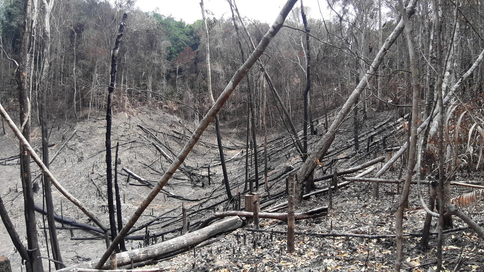 """Gia Lai: Nhiều cây gỗ lớn bị đốn hạ, gỗ nhỏ bị """"cạo trọc, đốt sạch"""" - Ảnh 2."""