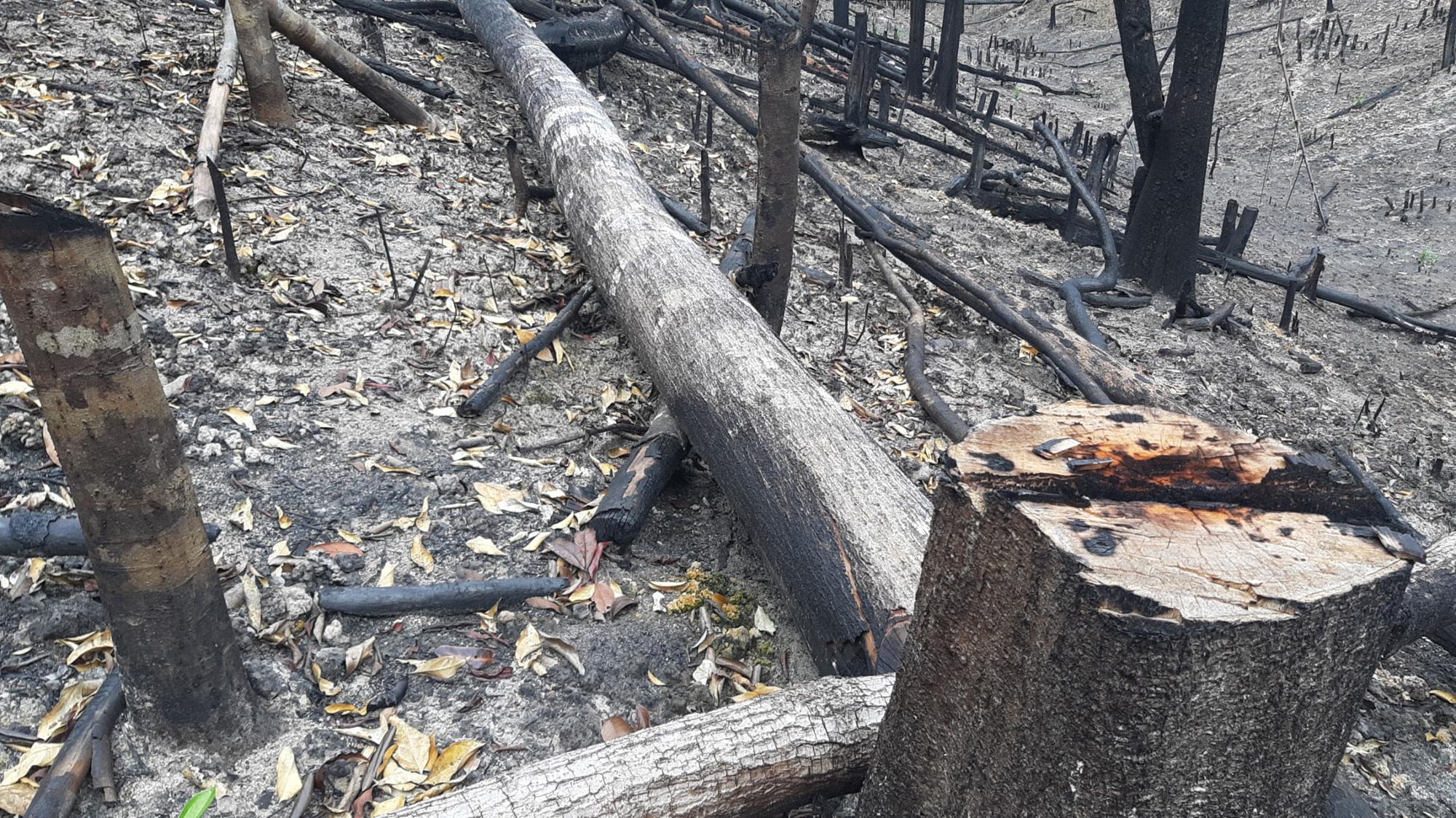 """Gia Lai: Nhiều cây gỗ lớn bị đốn hạ, gỗ nhỏ bị """"cạo trọc, đốt sạch"""" - Ảnh 3."""