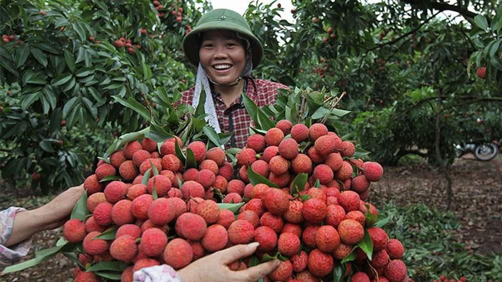 """Sẽ có 70.000 tấn vải thiều Bắc Giang sẽ """"xuất ngoại"""" qua các cửa khẩu Lạng Sơn - Ảnh 2."""