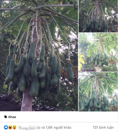 """Hình ảnh cây đu đủ kỳ lạ """"nở trăm trái"""" trong vườn khiến nhiều người bất ngờ, không ngừng bàn tán - Ảnh 1."""