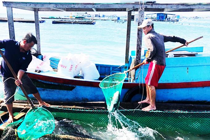 Kiếm trăm triệu đồng mỗi năm nhờ ương cá bớp giống - Ảnh 3.