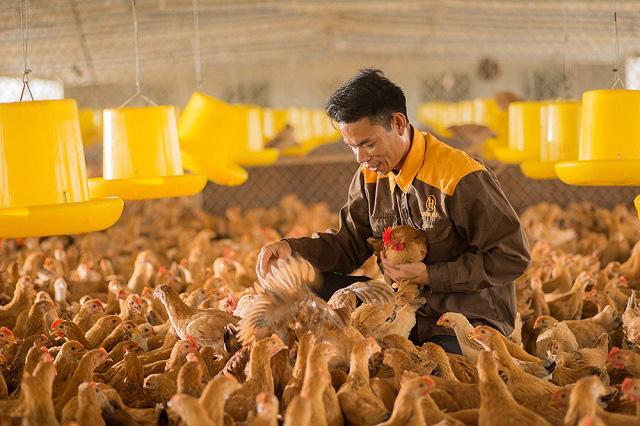 Chuyện lạ, nuôi gà trong phòng lạnh ở Khánh Hoà - Ảnh 2.