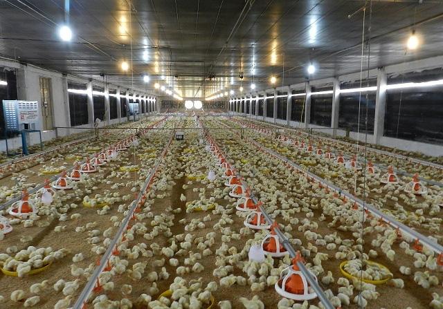Chuyện lạ, nuôi gà trong phòng lạnh ở Khánh Hoà - Ảnh 1.