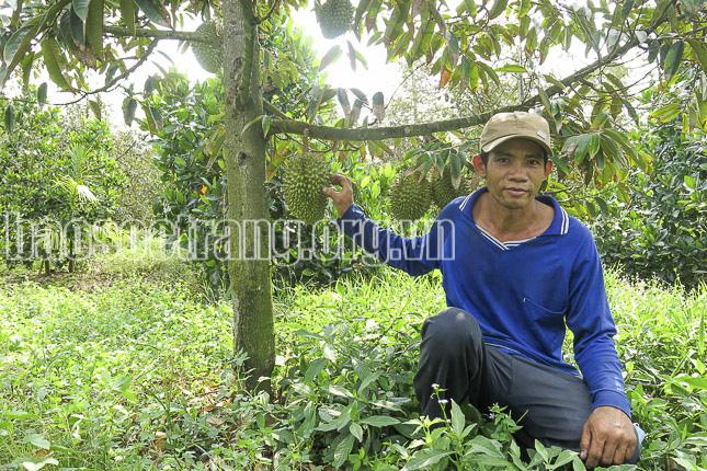 Sóc Trăng: Nhiều nông dân bỏ túi hàng trăm triệu đồng nhờ trồng sầu riêng chung vườn với mít Thái - Ảnh 1.