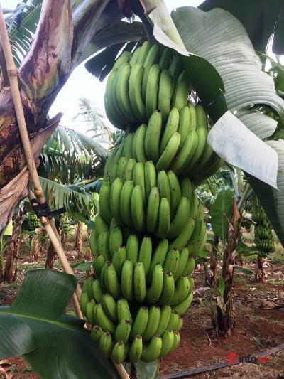 Đại học Tây Nguyên nghiên cứu trồng chuối Nam Mỹ tiêu chuẩn VietGAP - Ảnh 2.