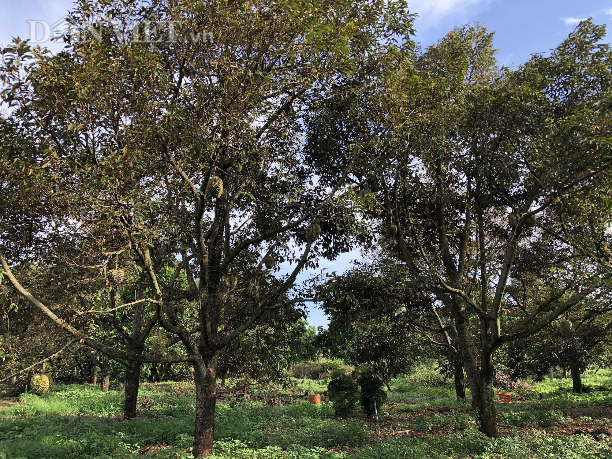 Người phụ nữ đào bỏ tiêu, bơ hiến hơn 1.500m2 đất làm đường - Ảnh 2.